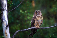 Great Horned Owl, Grand Teton Natl Park, WY