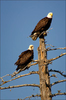 Bald Eagles, Anchorage, AK