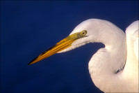 Great White Egret, Ding Darling Natl Wildlife Refuge, FL