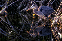 Great Blue Heron, Ding Darling Natl Wildlife Refuge, FL