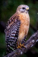 Red-Shouldered Hawk, Ding Darling Natl Wildlife Refuge, FL